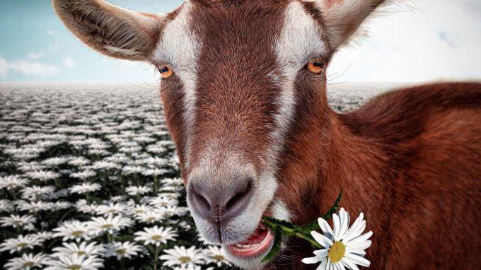 Веселая и жизнерадостная Коза является ярким представителем Огненного Начала