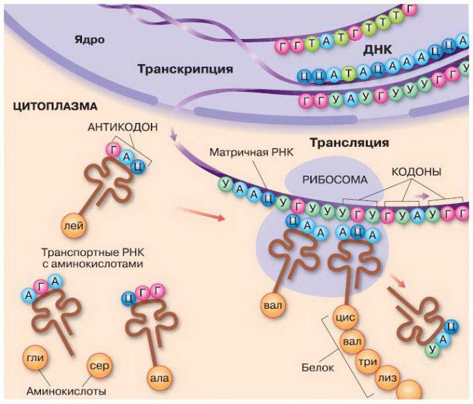 Биосинтез белка: кратко и понятно