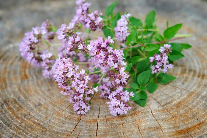 Растения майоран, душица: описание, сходство, различия