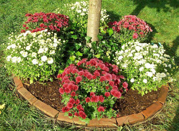 Хризантема - правила выращивания и ухода весной