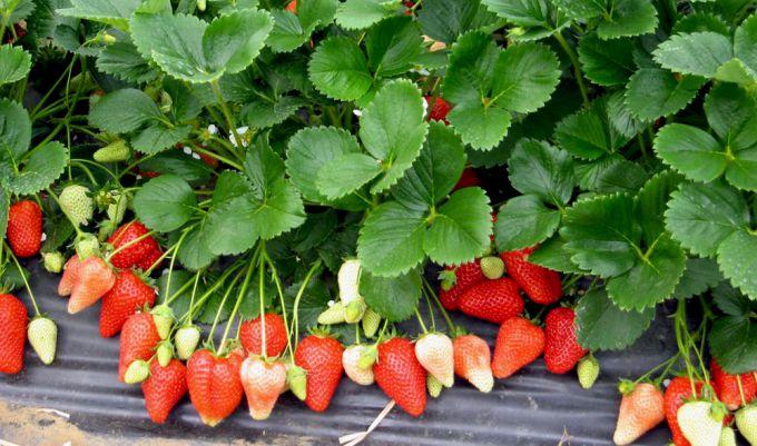 «Альба» - прекрасная ягода, являющаяся мечтой любого дачника