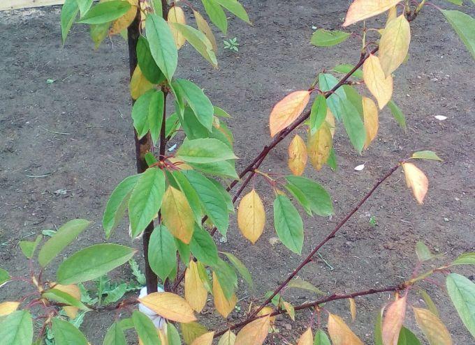 Почему у вишни летом могут желтеть листья