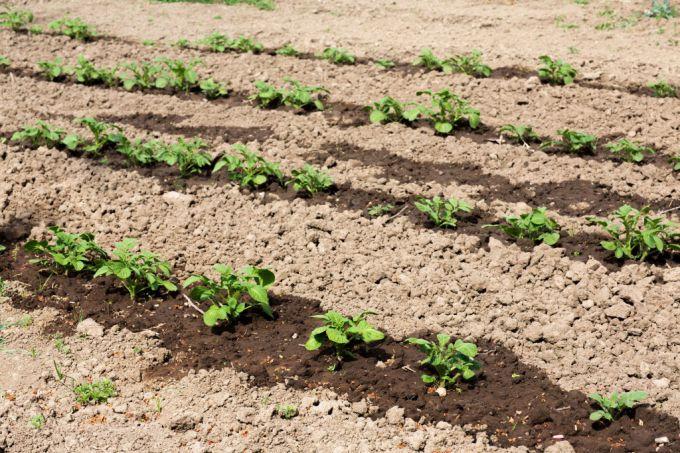 Подкормка картофеля в июне-июле