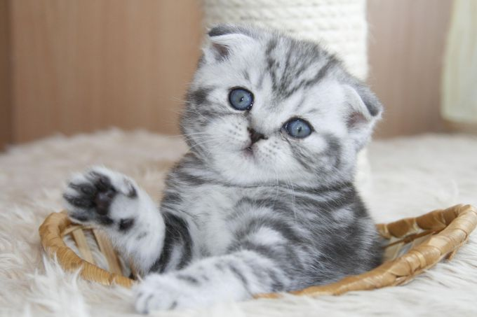 котенок шотландец