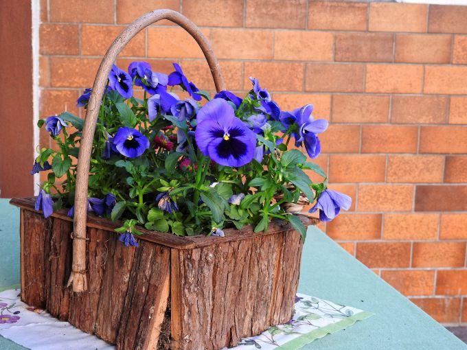 Садовые фиалки: виды и особенности ухода