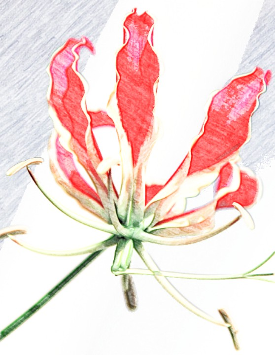 Цветок глориозы