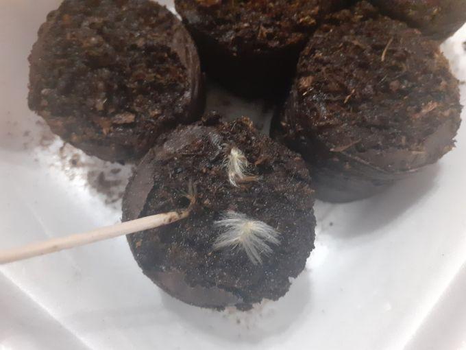 Семена гацании можно заделать в почву с помощью зубочистки