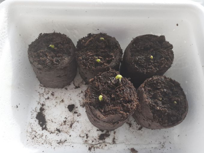 Прорастание семян гацании
