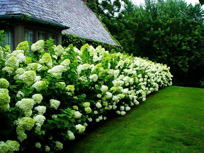 6 важных правил для пышного цветения гортензий