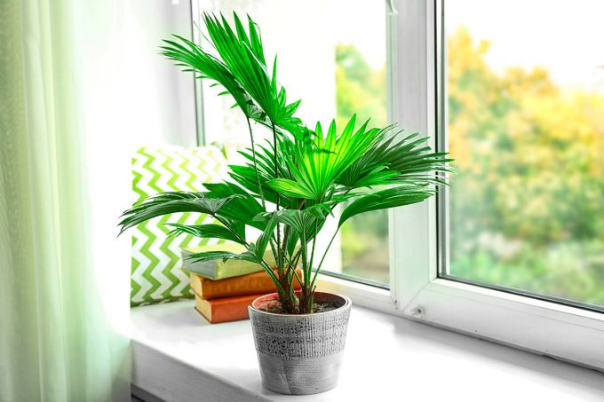 Неприхотливые разновидности комнатных пальм