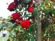 Как прививать розы