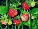 Как сажать семена земляники