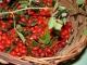 Как вырастить шиповник из семян