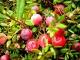 Как вырастить садовую клюкву