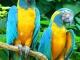 Как нарисовать попугая красками
