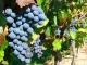 Как варить компот из винограда