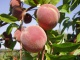 Как вырастить персик
