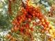 Облепиховое масло и масло туи: полезные свойства