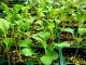 Как правильно вырастить здоровую рассаду