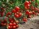 Все о помидорах: как выращивать