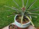 Как правильно посадить ананас