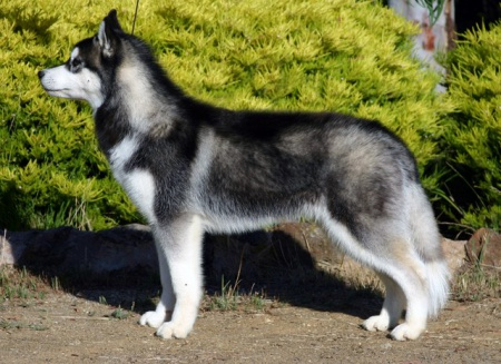 как выбрать щенка восточно сибирской лайки