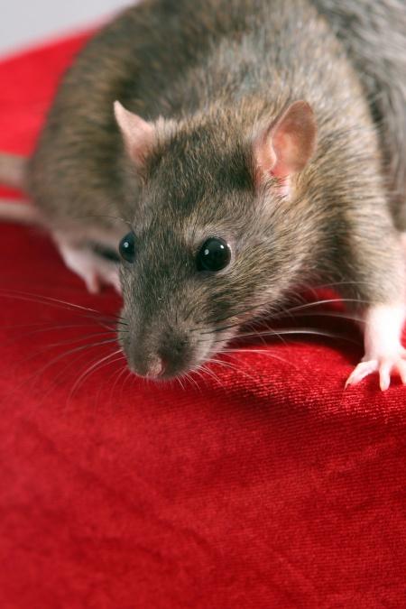 как умываются крысы