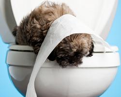 как приучить собаку пинчера ходить в туалет в одно место
