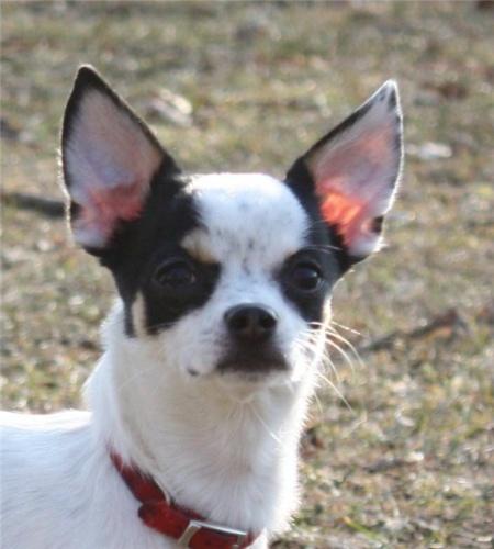 у щенка чихуахуа не стоят уши