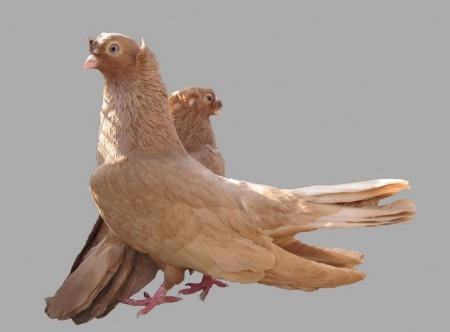 как содержать голубей
