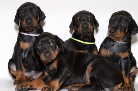 как выбрать щенка добермана для семьи